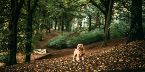 Babesiose oder Hundemalaria