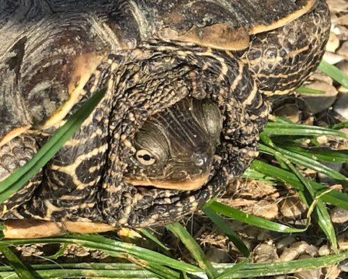 7750 Sumpfschildkröte