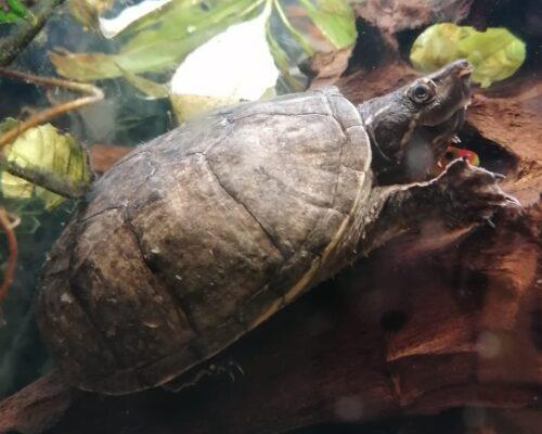 8830 Romeo und  8831 Julia – Moschusschildkröten