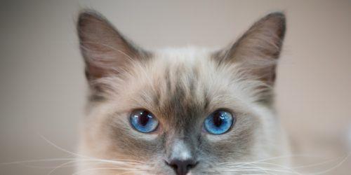 Ragdoll Katzen