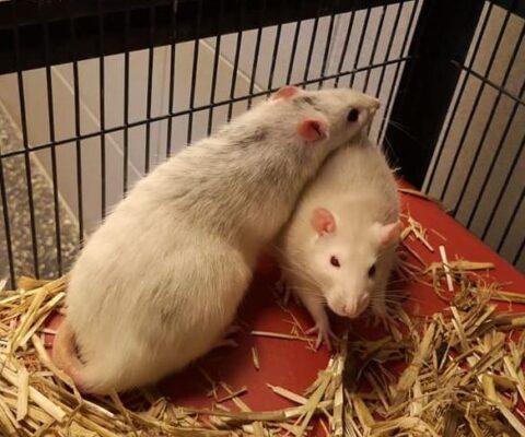 Weibliche Ratten 19546-19552