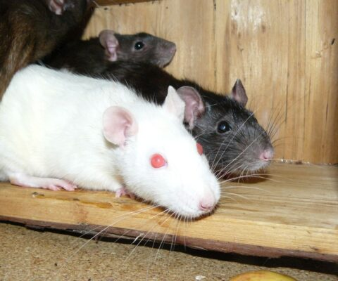 Ratteninvasion